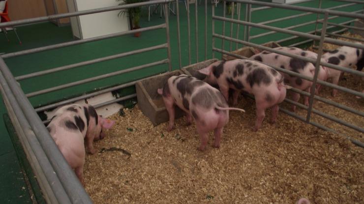 Crescem casos de falsos veterinários e de animais encharcados em antibióticos