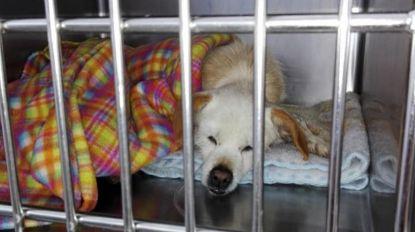 Cães envenenados em São Roque lutam pela vida