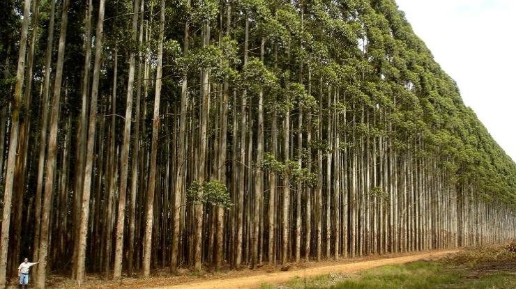 Industriais de pasta e papel criticam proibição de plantação de eucalipto