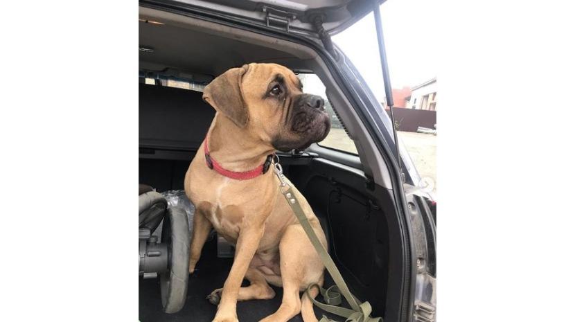 Maru, a cadela que atravessou 200 quilómetros em busca do dono que a abandonou