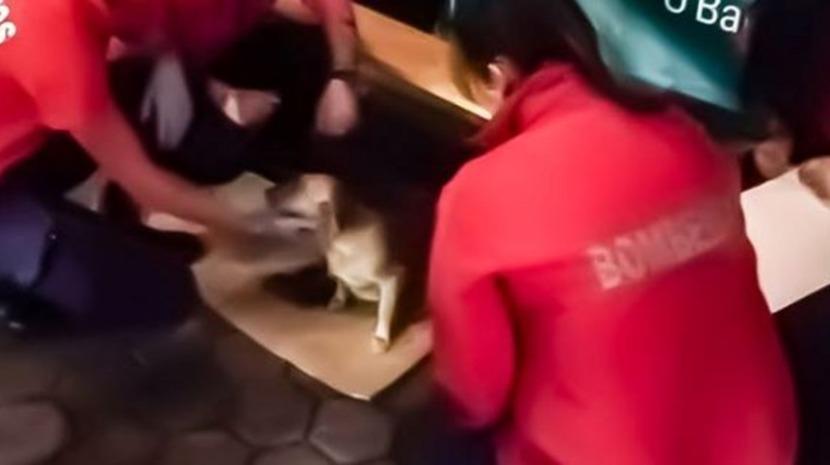 Bombeiros ajudam cadela em trabalho de parto em Vila Nova de Gaia