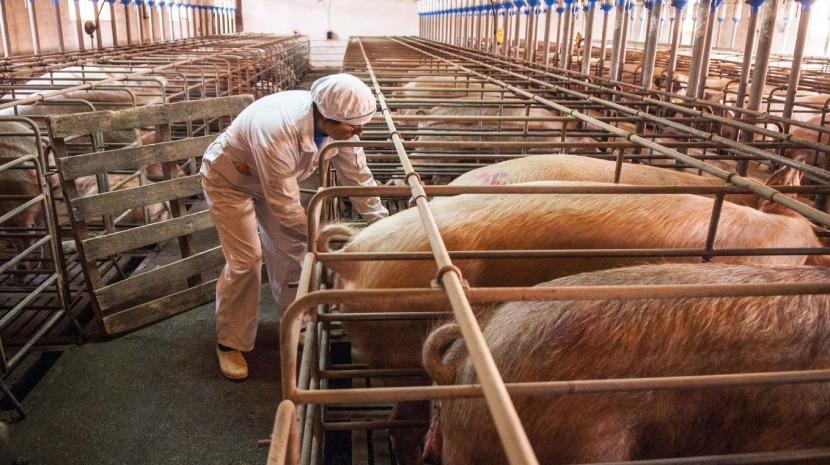 Filipinas abatem cerca de 3.000 porcos para conter surto de peste suína africana