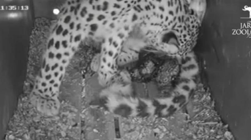 Nasceram três crias de leopardo no Jardim Zoológico de Lisboa (Com vídeo)