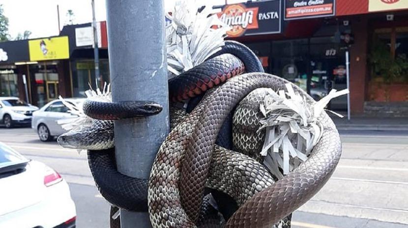 Cobras servem de decorações natalícias na Austrália