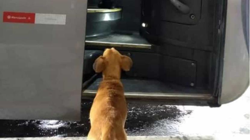 Cadela abandonada espera todos os dias pelos donos em estação rodoviária