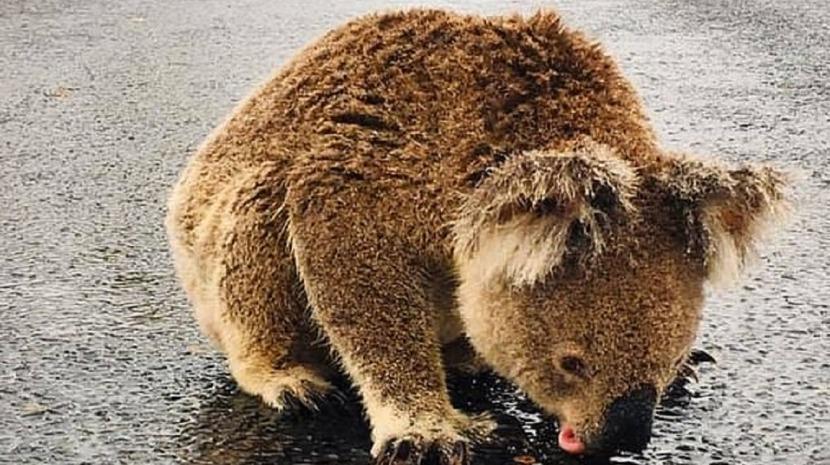 Coala desidratado bebe água da estrada após a chuva que aliviou os incêndios na Austrália (com vídeo)