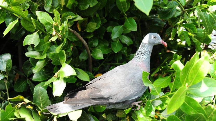 PRODERAM abre candidaturas com vista à mitigação dos danos provocados pelo pombo torcaz na agricultura